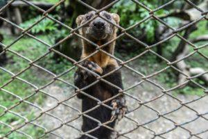 animaux sauvages domestiques colombie men ance pour la faune