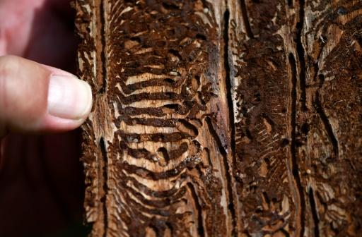 allemagne foirets insectes ravageurs