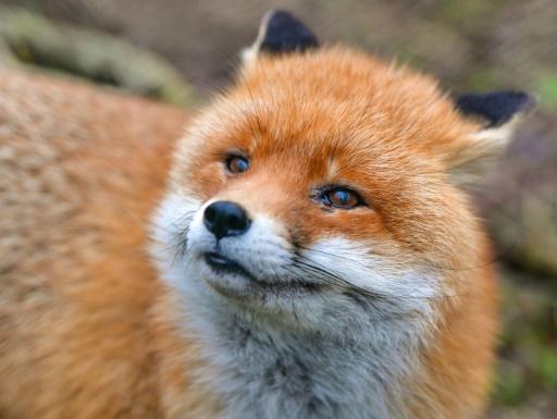 renard faune sauvage