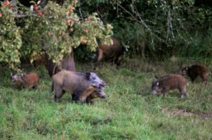 sangliers chasseurs agriculteurs discorde
