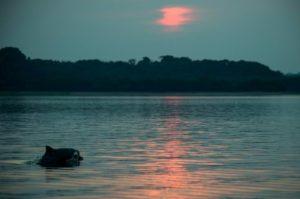 dauphin amazonien