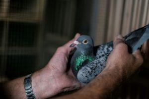 pigeons estropés blessés