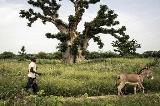 homme baobab