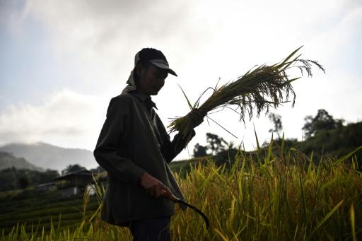 récolte le riz