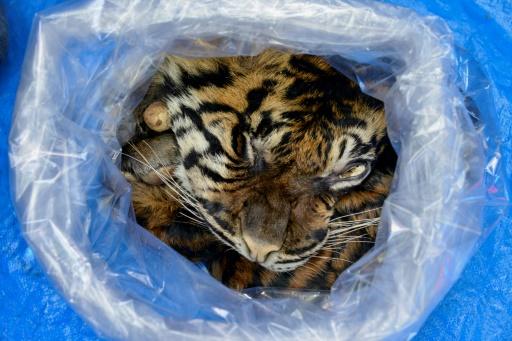 tigre peau