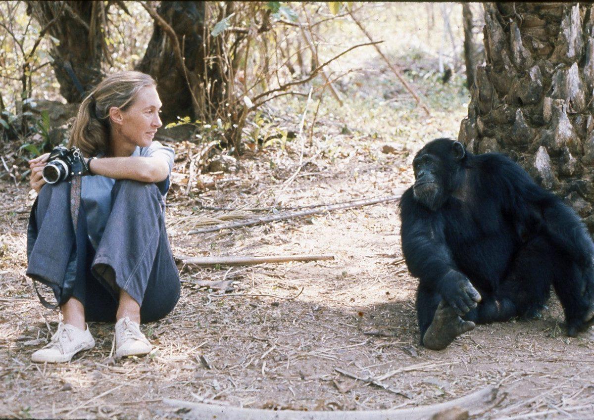 Jane goodall primatologue