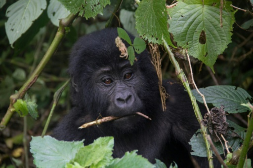ouganda gorilles foudre