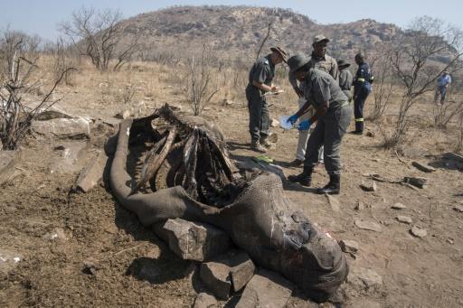 rhinocéros tué