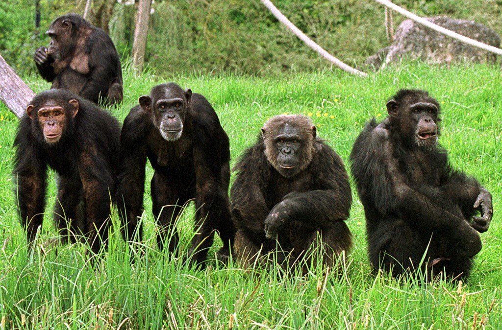 grands singes virus bonobos