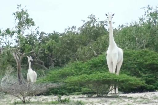 girafe blanche