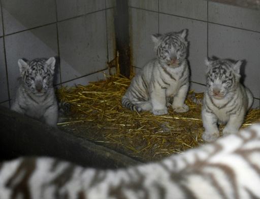 trois tigreaux blancs