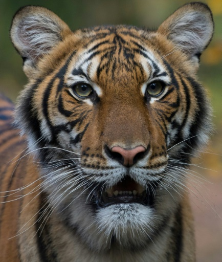 tigre new york coronavirus covid-19