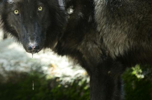 loup gris nord de la france
