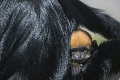 singe langur de françois naisance zoo bessaçon
