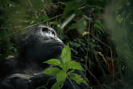 zoo gorilles coronairus