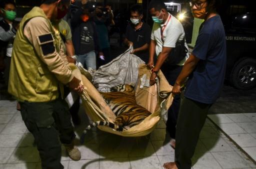 tigre de sumatra braconnage