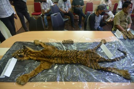 braconnage tigre