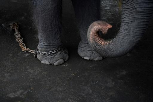 éléphants maltraitance