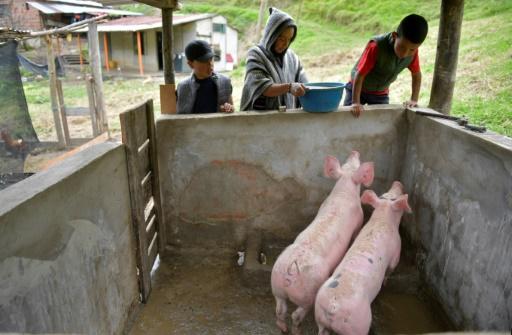 ferme Colombie cochons