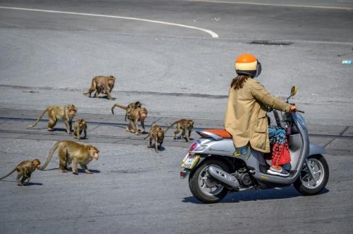 ville thailande singes macaques