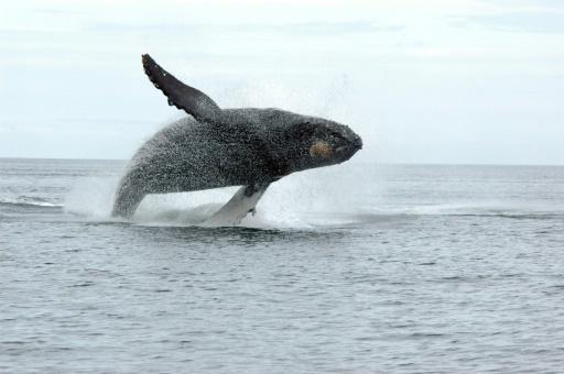 baleine à bosse montreal