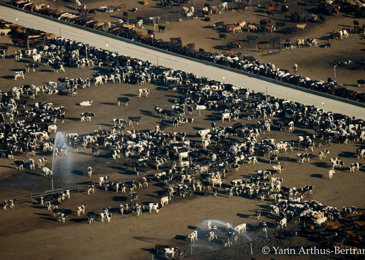 élevage intensif Etats Unis