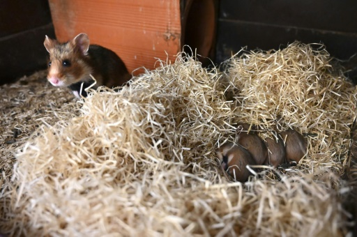 grand hamster d'alsace haut rhin