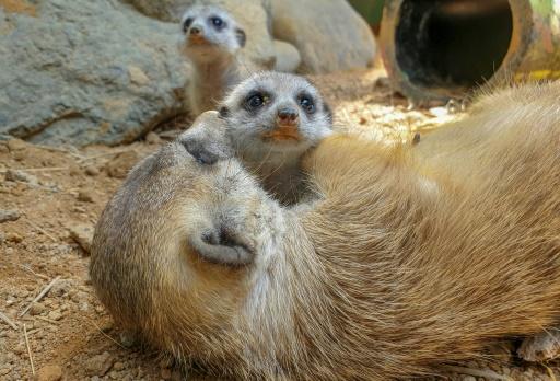 suricates zoo
