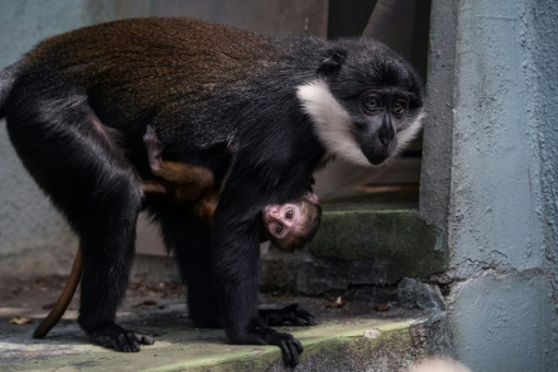 singe cercopithèque