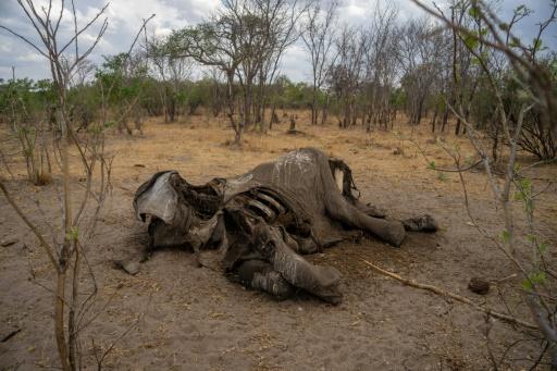 éléphant mort Zimbabwe