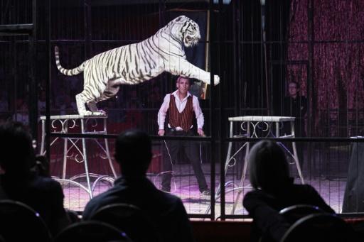 cirque tigre blanc