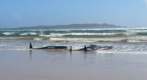 baleines échouées Tasmanie