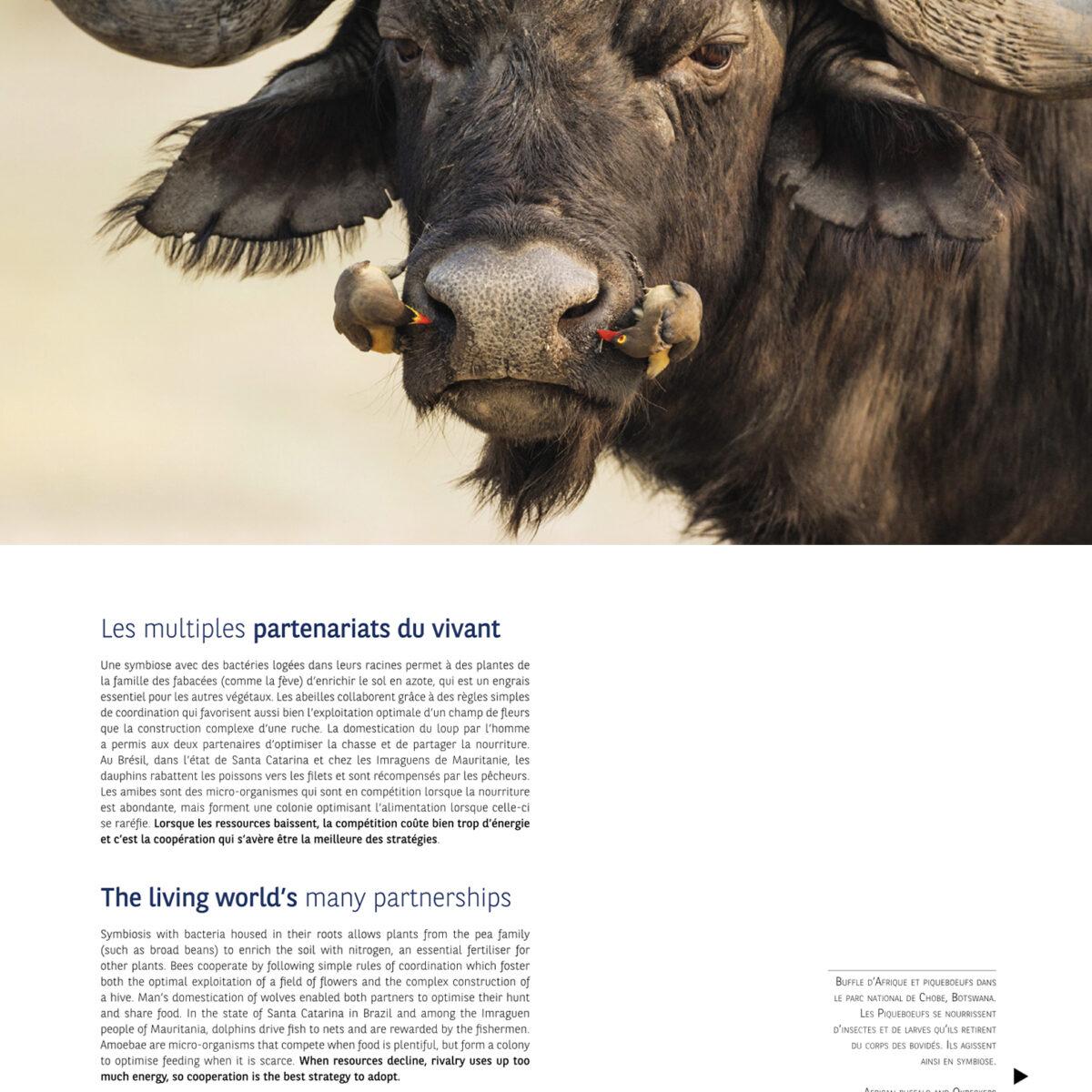 buffle piqueboeufs Botswana