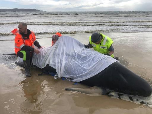 dauphins-pilotes Tasmanie