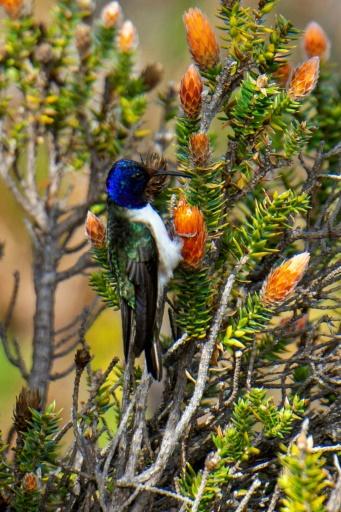 Equateur colibri