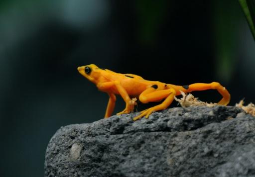 grenouille dorée Panama