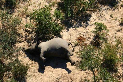 éléphant Botswana