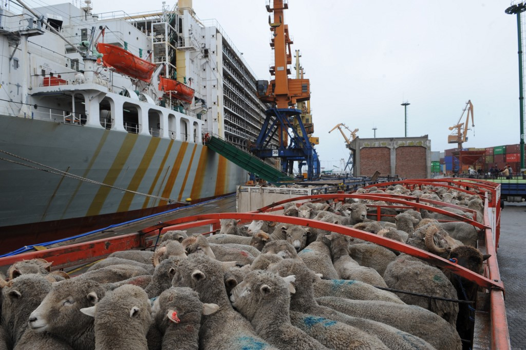 moutons cargo
