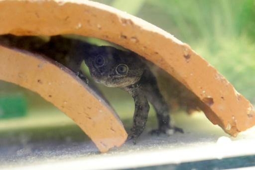 grenouille Loa Chili