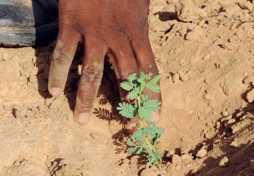Sénégal arbre