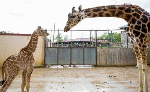 girafes zoo Amnéville