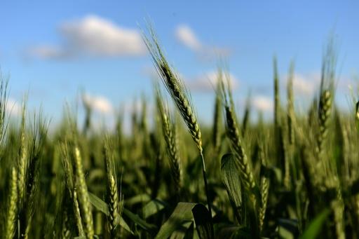 blé OGM