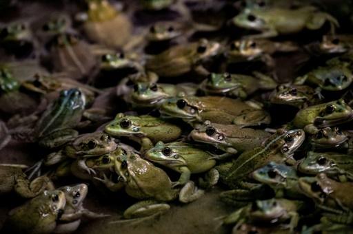 grenouilles élevage