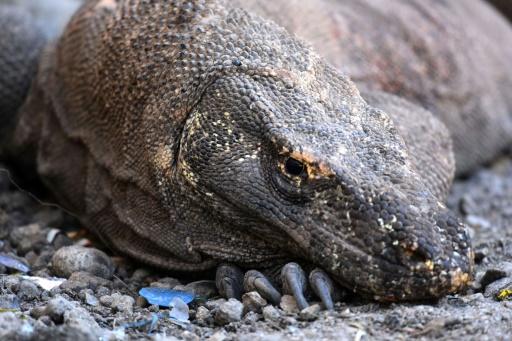 dragon Komodo Indonésie