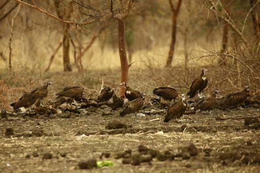vautours Botswana