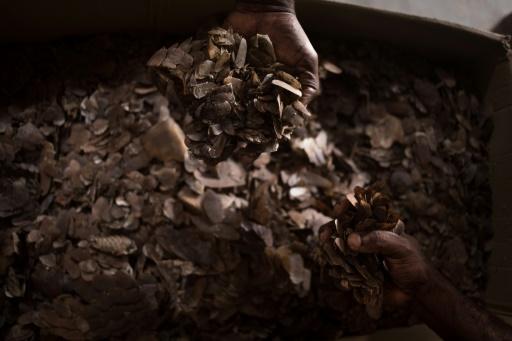 écailles pangolin Centrafrique