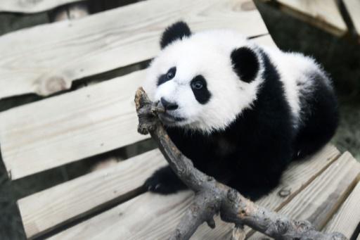 Panda zoo Pays-Bas