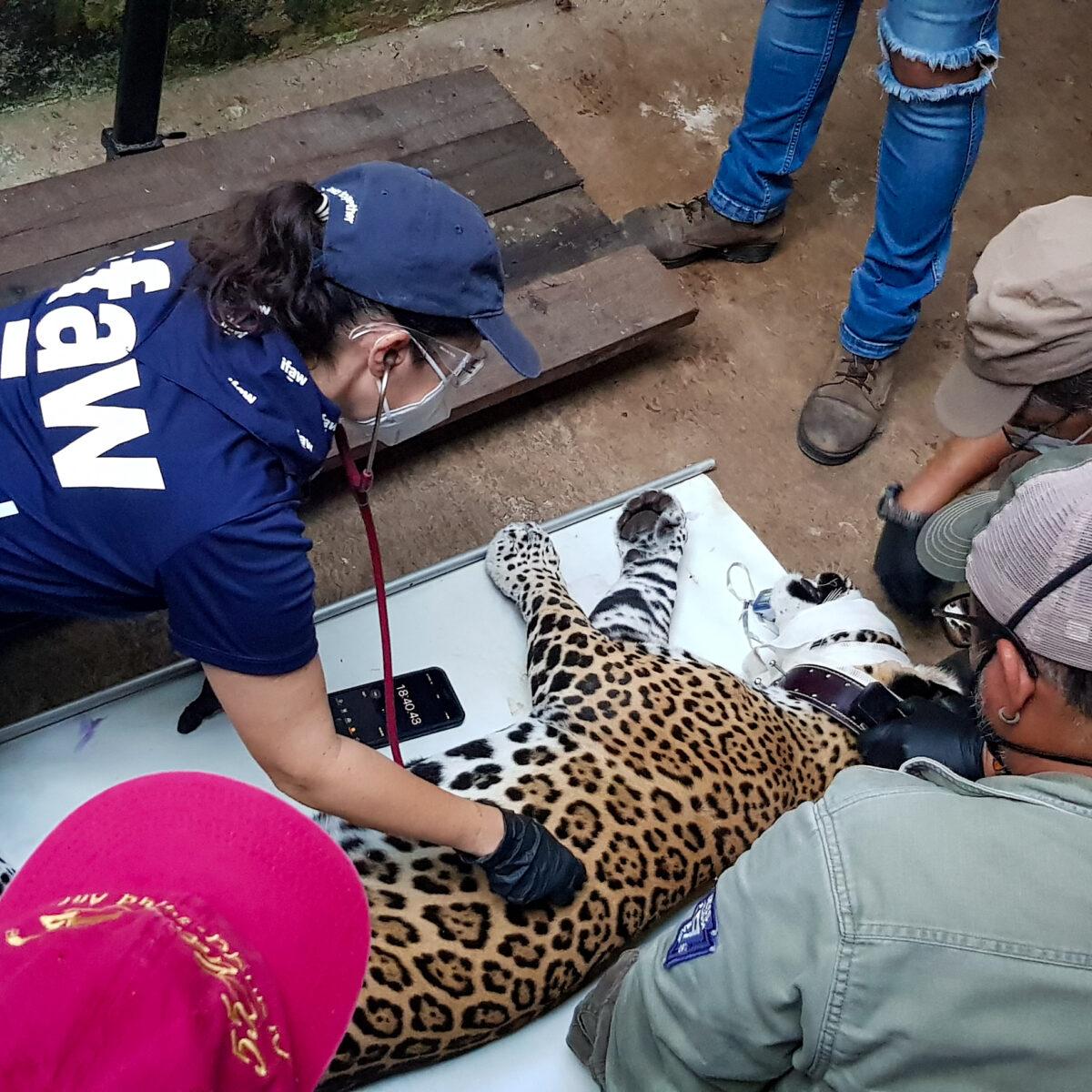 sauvetage jaguar Mexique
