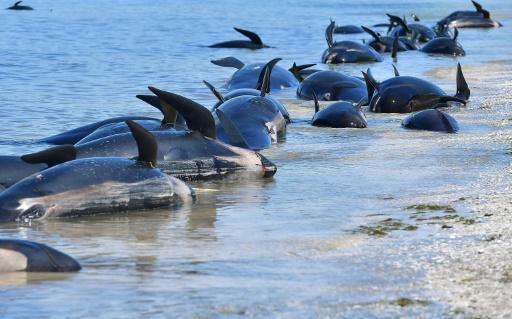 dauphins-pilotes échoués Nouvelle-Zélande