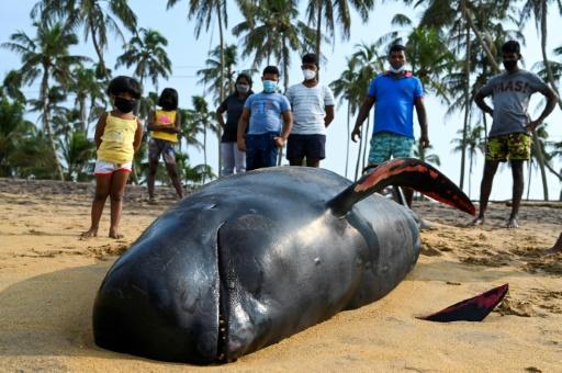 globicéphale échoué Sri Lanka